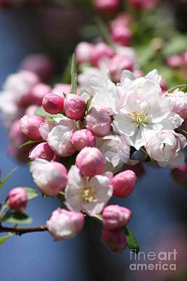 Crabapple Blossoms Art Print