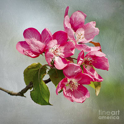 Photograph - Crabapple Blossoms by Gerda Grice