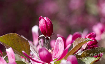 Photograph - Crabapple Bud by Steven Ralser