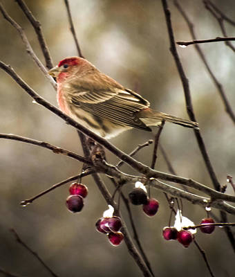 Red Finch Photograph - Crabapple Ice by Karen Wiles