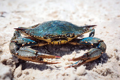 Photograph - Crabby Crab by Sennie Pierson