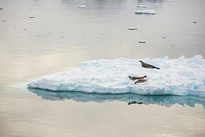 Haul Photograph - Crabeater Seals On Ice Floes by Ashley Cooper