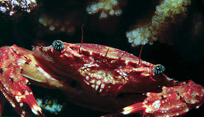 Photograph - Crabs 1 by Dawn Eshelman
