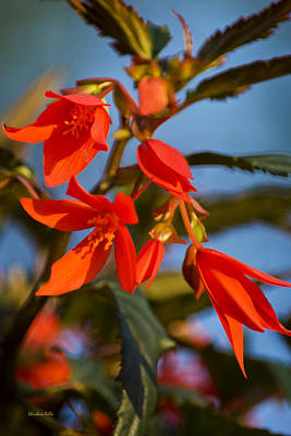 Blue Begonias Photograph - Crackling Fire Begonia by Christina Rollo