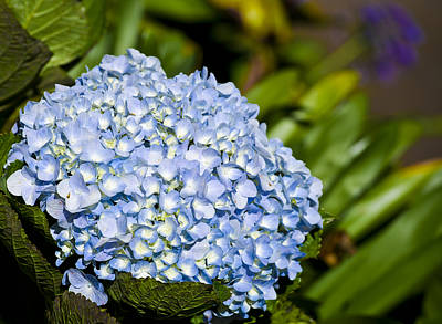 Photograph - Cradled Hydrangea by Christi Kraft