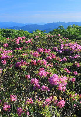 Photograph - Craggy Gardens Catawa Rhododendrons by John Burk