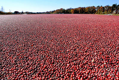 Harvest Photograph - Cranberry Bog In New Jersey by Olivier Le Queinec