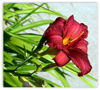 Cranberry Colored Lily Art Print by Kay Novy
