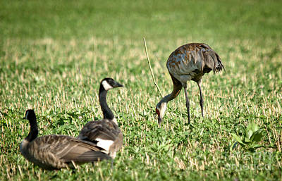 Photograph - Crane And Friends by Cheryl Baxter