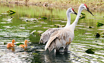 Crane Family Goes For A Swim Art Print