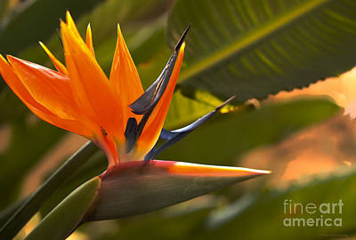 Photograph - Crane Flower Or The Bird Of Paradise by MaryJane Armstrong