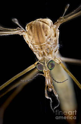 Photograph - Crane Fly Face by Phil Degginger