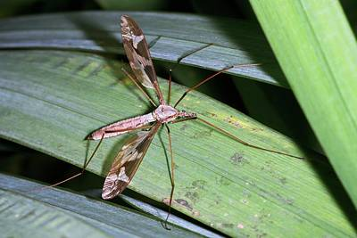 Maxima Wall Art - Photograph - Crane Fly by Sinclair Stammers