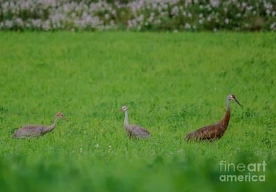 Photograph - Crane Mom And Kids by Cheryl Baxter