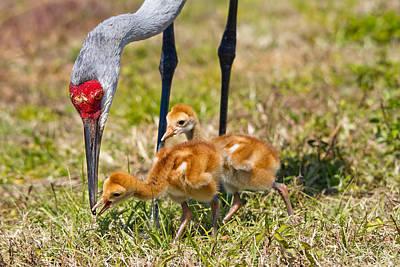 Sandhill Crane Photograph - Crane Neck To Feed Chicks by Phil Stone
