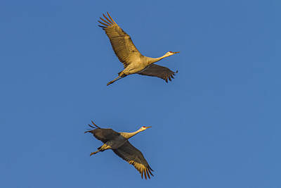 Photograph - Crane Pair Golden Light by Jack R Perry