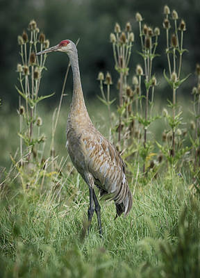 Photograph - Crane Walk by Eric Miller
