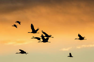 Gaggle Photograph - Cranes And Geese Flying, Bosque Del by Maresa Pryor