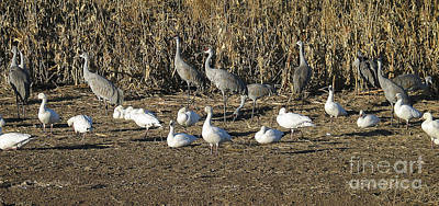Cranes Photograph - Cranes And Geese by Steven Ralser