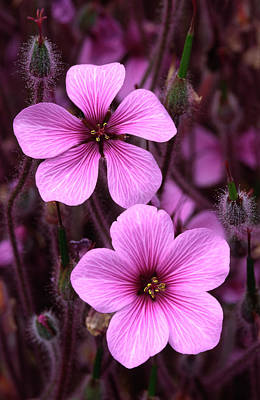 Cranesbill Art Print by Nigel Downer