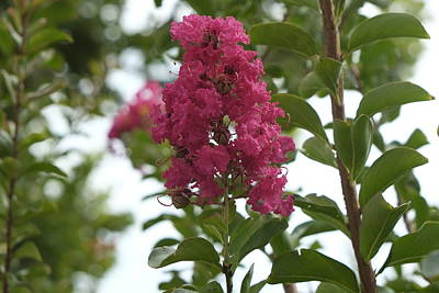 Photograph - Crape Myrtle by Louis Ferreira
