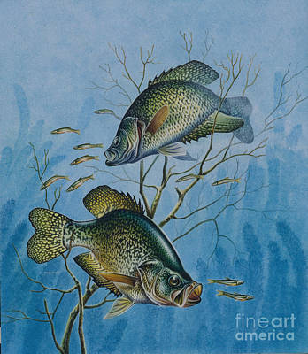 Black Crappie Painting - Crappie And  by Jon Q Wright