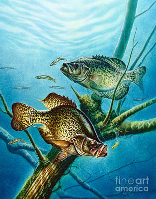 Panfish Painting - Crappie And Root by Jon Q Wright