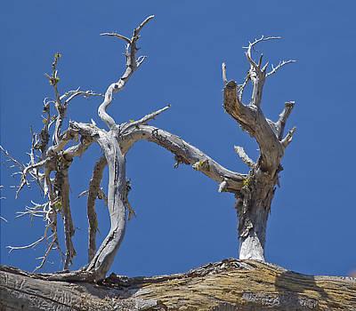Whitebark Pines Photograph - Crater Lake Kick Boxers by Charles Good