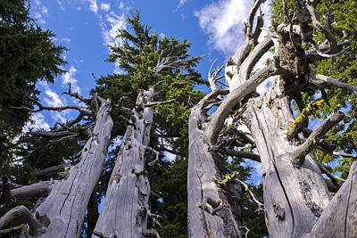 Photograph - Crater Lake Rim Trees by Spencer Bodian
