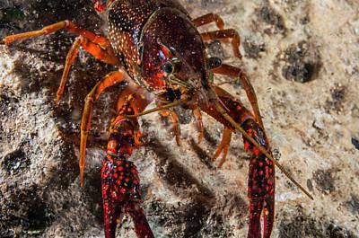 Crawfish Close-up During Mating Season Art Print