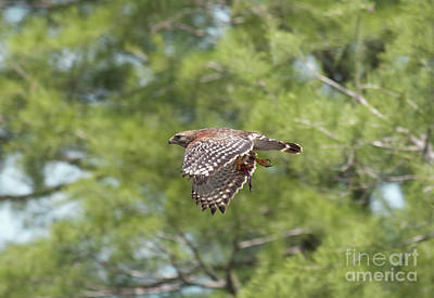 Birding Photograph - Crawfish On The Fly by David Cutts