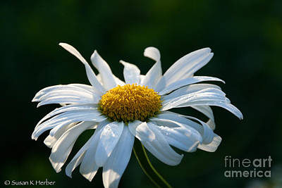 Photograph - Crazy Daisy by Susan Herber