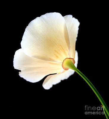 Cream Poppy Glow Art Print