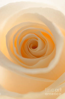 Photograph - Cream Rose by Sarah Schroder