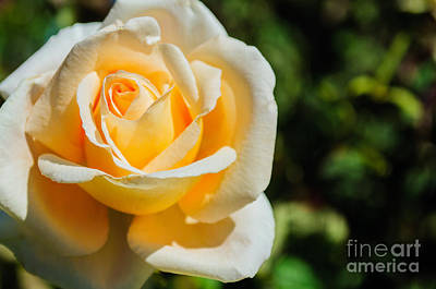 Photograph - Cream Rose by Tikvah's Hope