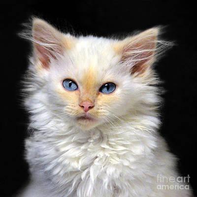 Cream Siamese Kitten Art Print by Catherine Sherman
