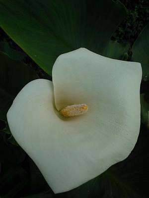 Photograph - Creamy Calla Lilly by Marian Hebert