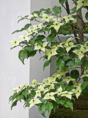 Photograph - Creamy Delicious - Chinese Dogwood - Cornus Kousa by Gill Billington