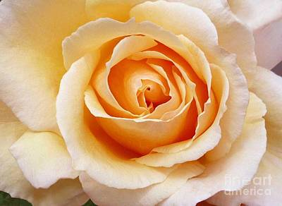 Art Print featuring the photograph Creamy Orange Rose Blossom by Paul Clinkunbroomer