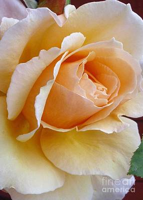 Photograph - Creamy Pastel Orange Rose by Paul Clinkunbroomer