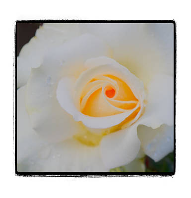 Creamy White Yellow Rose Original
