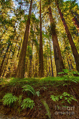 Creek Bed Buddies - California Redwoods I Art Print by Dan Carmichael