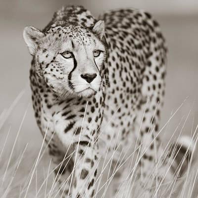 Creeping Cheetah Art Print by Regina Mueller