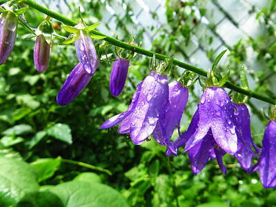 Photograph - Creeping Purple Bellflower by Shawna Rowe