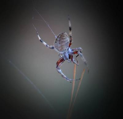 Photograph - Creepy Garden Spider by Maria Urso