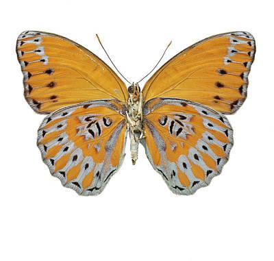Arthropoda Photograph - Crenidomimas Concordia by Natural History Museum, London