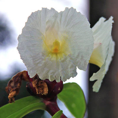 Photograph - Crepe Ginger Costus Speciosus by Karon Melillo DeVega
