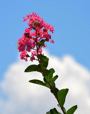 Photograph - Crepe Myrtle Against The Sky by Richard Bryce and Family