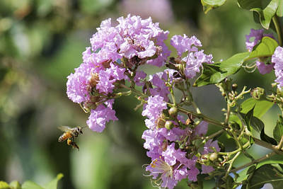 Photograph - Crepe Myrtle And Honey Bee by Jason Politte