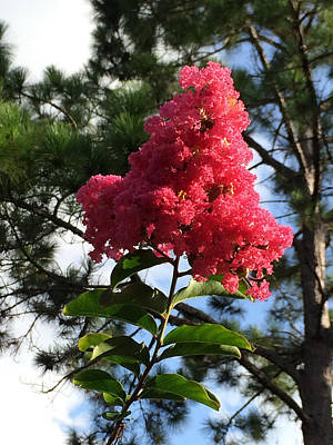 Photograph - Crepe Myrtle And Mr. Pine by Nicki La Rosa